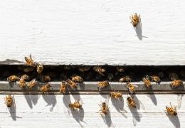 Ασθένειες και Εχθροί των Μελισσών: Μέθοδοι Πρόληψης και Ορθολογικής Αντιμετώπισης (ΕΞ-ΑΜ015)