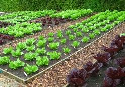 Αστική Λαχανοκομία: πώς να καλλιεργήσω στον κήπο, στο μπαλκόνι, στο κτήμα